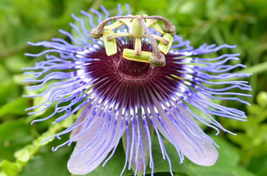 passion flower-